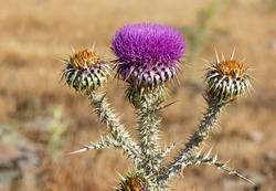 natural thorns, purple flowering thorn photos.