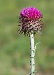 natural thorns, purple flowering thorn photos