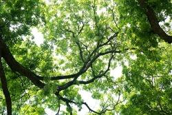 Natural tree shade: Under the green shade With beautiful light shining through. Dark green small tamarind leaf dense, spread branch bush tree shade background. Fresh green treetops in garden