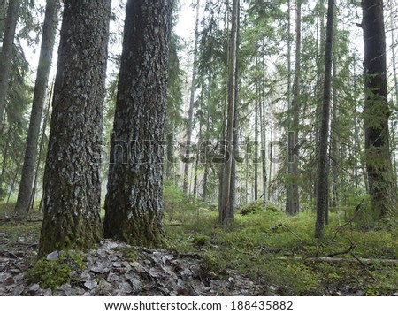Natural untouched forest, Scandinavia, Sweden