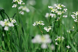 Natural WhiteFlower Through Green Nature Grass.