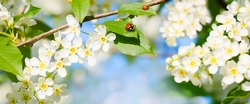 Natural Wide Angle Spring background with ladybug on Bird cherry leaf, soft focus. Beautiful white bird cherry blossoms in sunny day. Spring Floral Wallpaper. Beauty in nature. Environment concept.