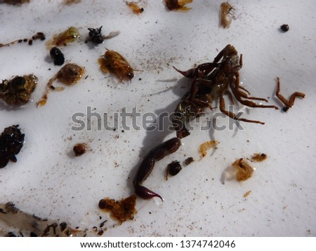 naturally dead, dried and trimmed group of insects and arthropods over a white background consisting in at least one scorpion, one spider, one cockroach, one fly #1374742046