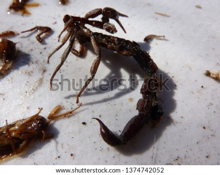 naturally dead, dried and trimmed group of insects and arthropods over a white background consisting in at least one scorpion, one spider, one cockroach, one fly #1374742052