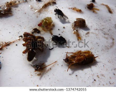 naturally dead, dried and trimmed group of insects and arthropods over a white background consisting in at least one scorpion, one spider, one cockroach, one fly #1374742055