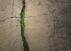 naturally have to adapt to survive. texture cement with small plant sprout growing from groove line.  sensitive plant and Waterkanon growing on Cement floor