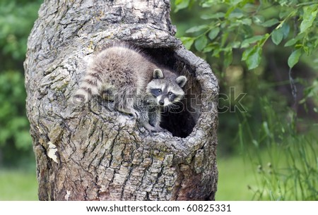 Naturally inquisitive, a young raccoon (Procyon lotor) explores a hollow log in the forest.