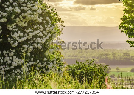 Nature. A bush with white flowers. Landscape.