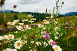 nature and flowers, beautiful wildflowers near wooden fence along a pasture in countryside, summer landscape in carpathian mountains, meadow and spruces on hills