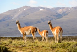 Nature and guanaco in Patagonia, Chile.