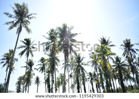Nature at its best. The coconut trees in Kota Marudu.