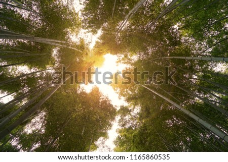 Nature Background and Wallpaper of Sunlight Through Green Bamboo Grooves on Sunny Autumn Day in Kyoto Japan