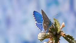 Nature background concept. One Adonis blue butterfly on a wild meadow flower ready to fly close up macro. Selective focus with blue blurred background. Beautiful summer meadow wallpaper.