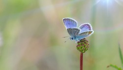 Nature background concept. One silver-studded blue butterfly on a wild meadow flower ready to fly close up macro. Selective focus with natural blurred background. Beautiful summer meadow wallpaper.