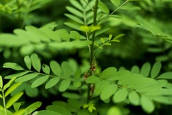 Nature Background, Indigofera tree, Indigo (Karm) in the garden from Thailand