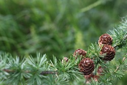 nature background, larch cones, with place for your text