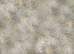 Nature background made up of an abstract pattern of dandelion deeds.  Soft creative floral design.
