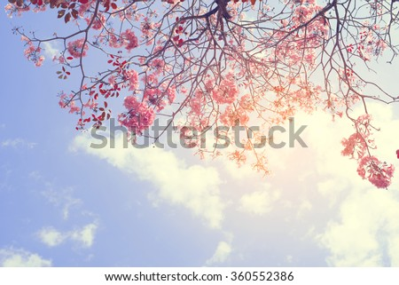 Nature background of beautiful tree pink flower in spring - serenity and rose quartz vintage pastel color filter