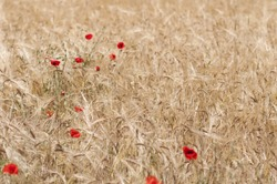 Nature background of cornfield with poppies.