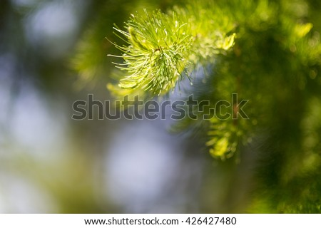 Nature background of sunny pine tree needles on branch.  #426427480