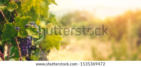 Nature background with Vineyard in autumn harvest. Ripe grapes in fall. Photo stock ©