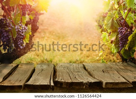 Nature background with Vineyard in autumn harvest. Ripe grapes in fall. Table with vineyard