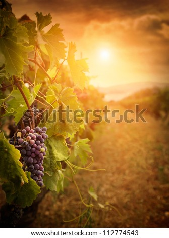 Nature background with Vineyard in autumn harvest. Ripe grapes in fall. Wine concept