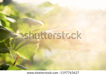 Nature blurred bokeh background. New leaf on branch on spring sunny light  Defocus summer day vintage toned. Springtime concept.