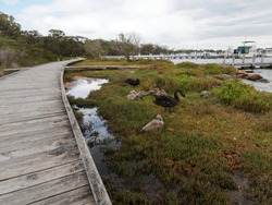 Nature board walk on Raymond Island with Swans and Cygnets, Boats at Jetty's.  East Gippsland. Paynesville, Victoria.