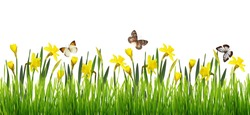 Nature border with fresh green grass, yellow narcissus flowers and butterflies isolated on white background