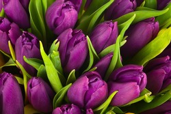 Nature bouquet from purple tulips for use as background. Selective focus.