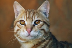 nature close up - cute red and white stripped cat head with brown eyes and pink nose