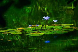 Nature Fauna and Flora with frogs on water lily.