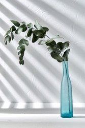 nature, flora and herbal concept - eucalyptus populus branch in blue glass vase on white table