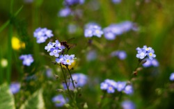 Nature floral background. An insect on a forget-me-not flower. Forget-me-not flowers on a background of green grass close-up. A flying beetle on a blue flower.