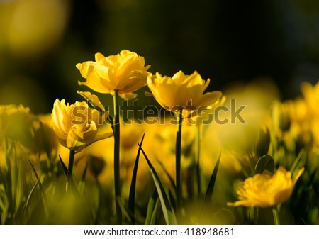 Nature flower background. Amazing natural view of yellow tulips under sunlight in garden. Perspective of beautiful scenery plants in nature.