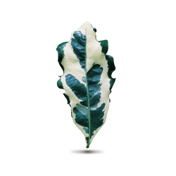 Nature fresh blotch leaf of expensive houseplant with white and green mixed color, standing on white floor