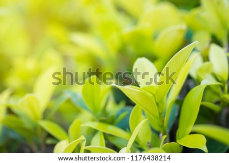 Nature fresh green leaf plant in outdoor park. Garden natural foliage botany texture closeup background. Ecology and environment concept.