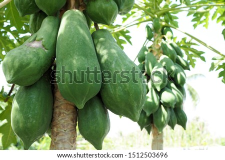 Nature fresh green papaya on tree with fruits