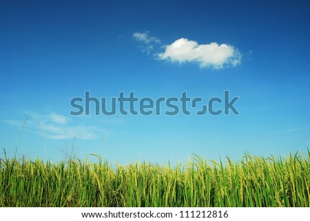 Nature grass field rice background outdoor for design - stock photo