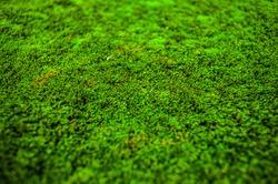 Nature green moss texture, background.