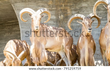 Nature, group of mountain goats, Family mammals with large horns #795259759
