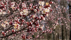 Nature in Springtime. Branch with beautiful white Spring Apricot Flowers on Tree. Nature scene with flowering apricot on blossom background. Botanical bloom concept. Blooming backdrop