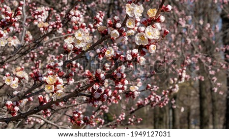 Nature in Springtime. Branch with beautiful white Spring Apricot Flowers on Tree. Nature scene with flowering apricot on blossom background. Botanical bloom concept. Blooming backdrop Stock photo ©