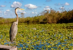 Nature in the Everglades National Park of USA, Florida. With heron next to water with water lilies