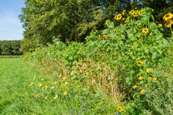 Nature-inclusive or circular and sustainable agriculture with sun flowers along cultivated agricutkrual grass field in the Netherlands, Europe