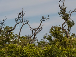 Nature landscape background of an osprey and a great blue heron in the tops of dead trees in a Florida wetland forest.
