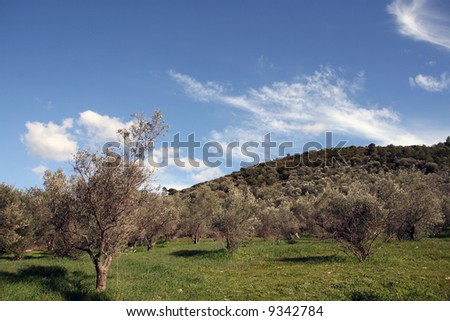 nature landscape grass and small olive trees for background