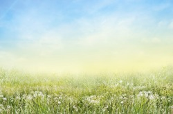 Nature Landscape of green meadow with white dandelions and sunny sky