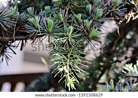 Nature macro of a single branch of blue atlas cedar tree exposing the new tender growth of needles in a blend of shade and sunlight exposure in shades of green vibrant colors #1391508629